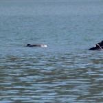 4 IMG_6642a spielende Delfine ziehen am Ankerplaqtz vorbei