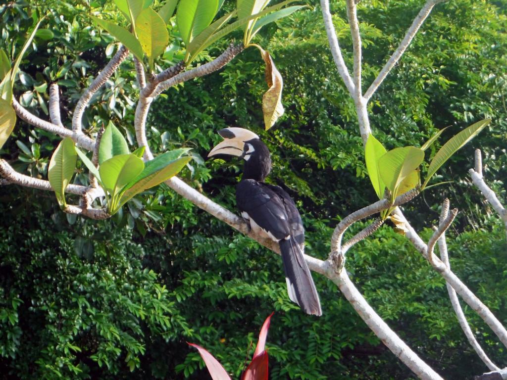 4a Hornbill bzw Nashornvogel